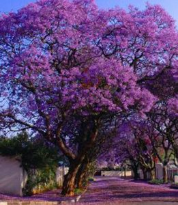 Get To Know The Best Flowering Trees In Australia Jim S