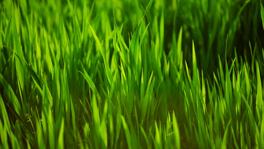 6 Popular Australian Lawns Amp Grasses Jim S Mowing Nz