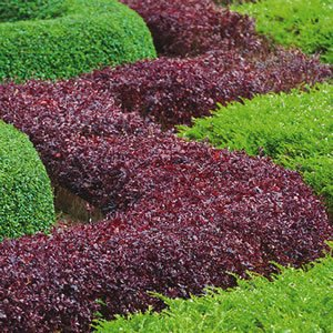 The Best Plants To Use For Hedging Jim S Mowing Nz
