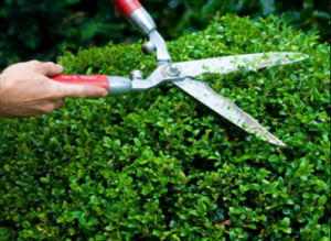 Hedge Trimming for Beginners