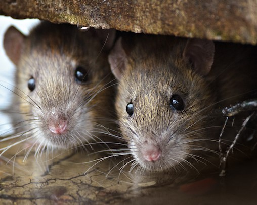 Rats Love Yard Rubbish Tips To Keep Them Away Jim S