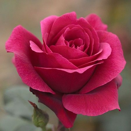Grow And Take Care Of Roses This Autumn