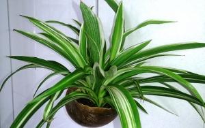 Spider-Plant-Cat-Friendly-NZ