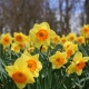 Daffodils-hypoallergenic-flowers-jims-mowing-nz
