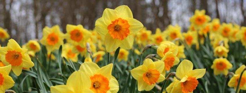 Daffodils-hypoallergenic-flowers-jims-mowing-nz